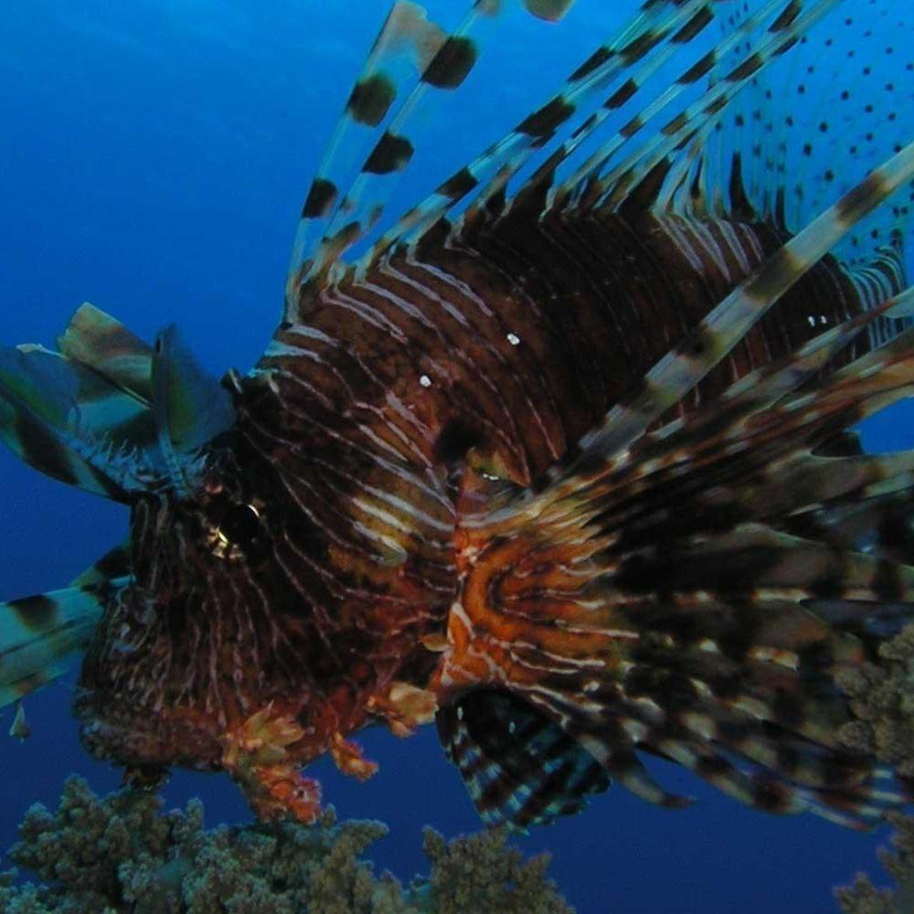 Осторожно: в море появилась ядовитая рыба-крылатка
